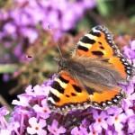 Vlinderbloem kweektuintje